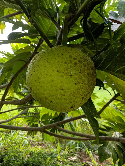 Breadfruit is actually the female inflorescence made up of many flowers. So when you are eating breadfruit you are actually eating flowers!