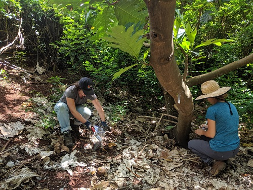 KUPU Americorps Interns assisting in soil and data collection, we did this for almost 70 trees!